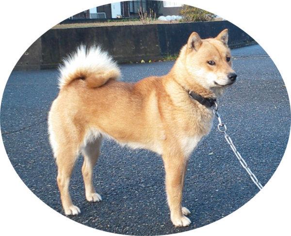 北海道犬・アイヌ犬 2