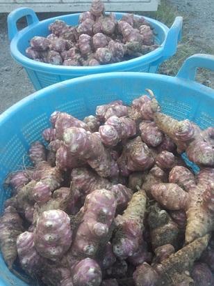 みらい農園の赤菊芋の粉末とは - 菊芋の販売【みら …