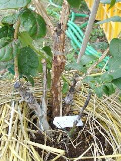 多品種接ぎ木