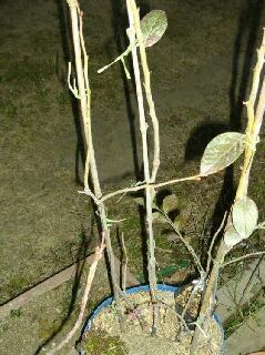 常緑のプルの接ぎ木