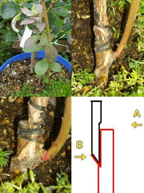 接ぎ木雑種