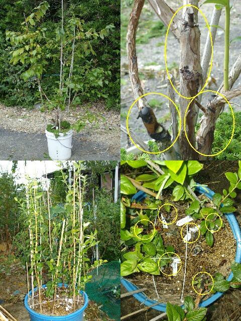 ブルーベリーの多品種接ぎ木