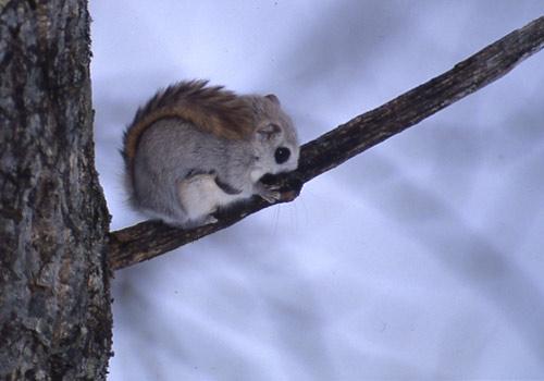 35 Photos Of Momonga Dwarf Flying Squirrels